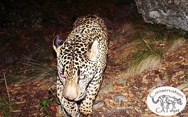 Einsamer Jaguar gesichtet