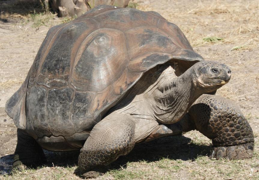 GalapagosGiantTortoiseGeocheloneElephantopus