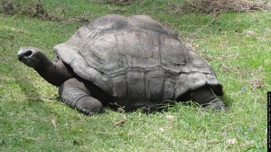 Seychellen-Schildkröte