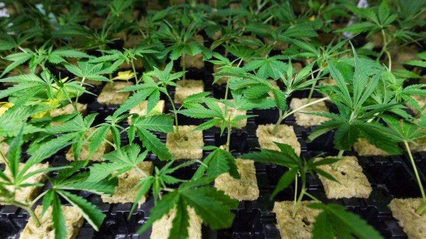 Digitales Cannabis – Microsoft investiert insDrogengeschäft