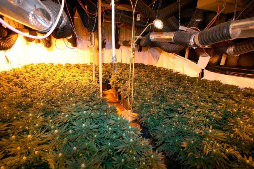 Der Anbau von Cannabis ist mittlerweile hoch technisiert und digitalisiert, ganze Plantagen lassen sich per Laptop oder Smartphone-App steuern und kontrollieren.