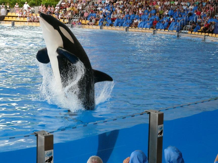 Schwertwal-Show im Loro Parque: Ist die Haltung von Meeressäugern in Tierparks sinnvoll?