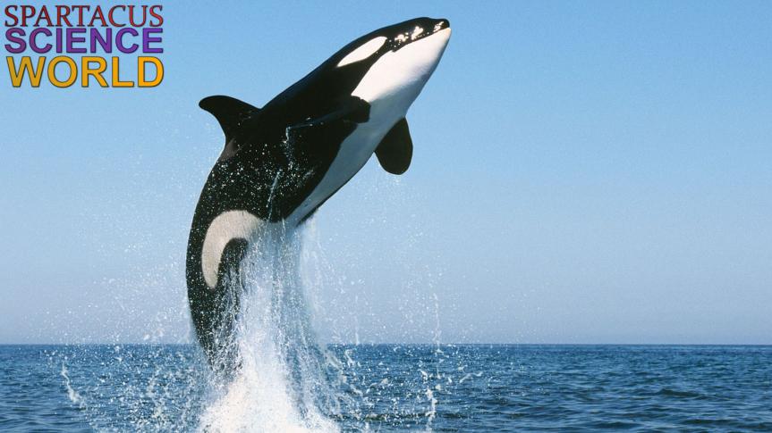 Wollte sich Schwertwal-Weibchen Morgan das Lebennehmen?