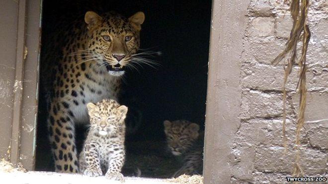 _76457245_leopard