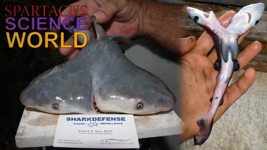 Immer mehr zweiköpfige Haie werden entdeckt – Forscher vermutet Überfischung alsUrsache.