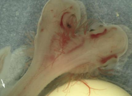 zweikopfiger-hai-spanien